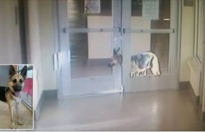 Dog Masterminds Escape from an Animal Shelter, Breaks Out Through Three Separate Doors