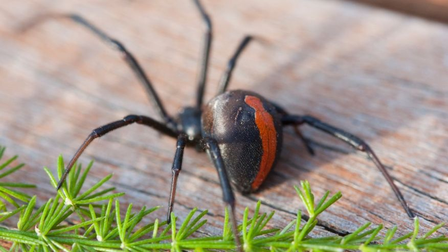 For the 2nd time in his life, guy is bitten on his Penis by a venomous Red back spider