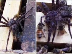 Spider Gets Destroyed After Invading Bee Hive