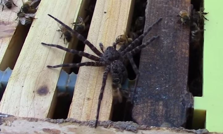 Spider Gets Destroyed After Invading Bee Hive