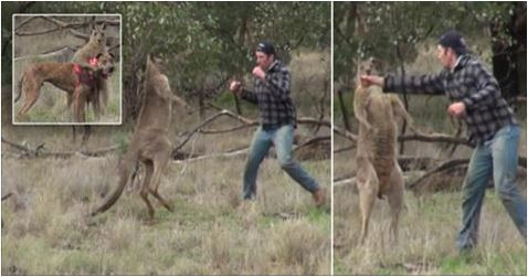 Kangaroo Gets Punched in the Face by Hunter After Holding His Dog in a Chokehold