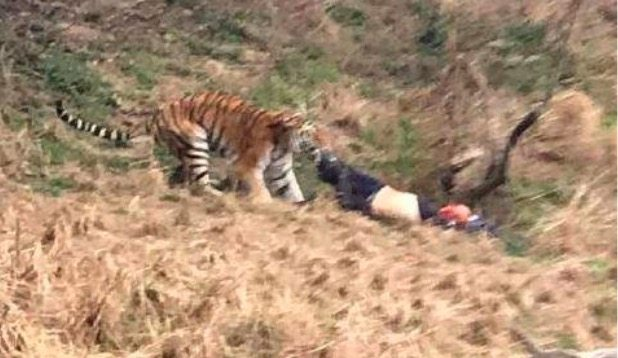 THREE TIGERS MAULING A MAN TO DEATH AFTER HE CLIMBS INTO ENCLOSURE